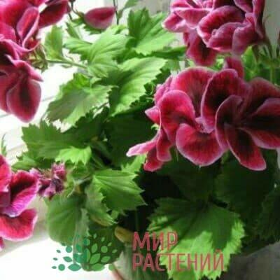 Пеларгония королевская (грандифлора)