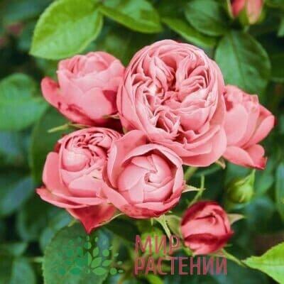 Розы Спрей Тантау