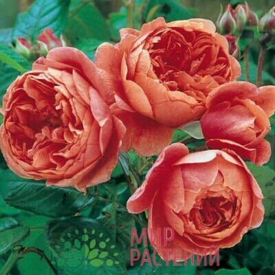 Основная коллекция роз Д.Остина