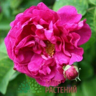 Французские галльские розы