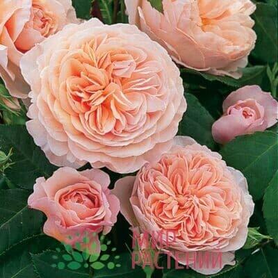Дополн коллекция роз Д.Остина