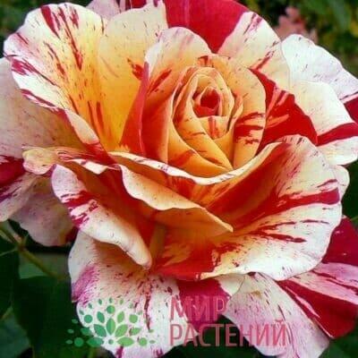 Французские чайно-гибридные розы