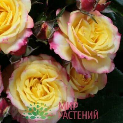 Розы Патио Тантау