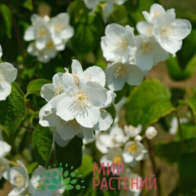 Чубушник венечный крупноцветковый