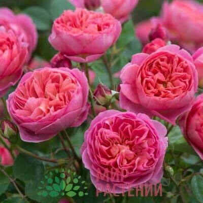 Розы Дэвида Остина (Англия)