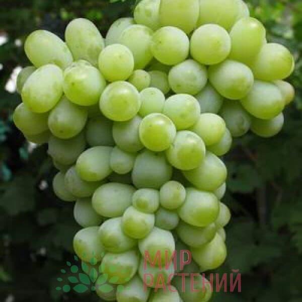 Виноград Нектар