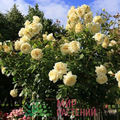 Розы плетистые Тантау