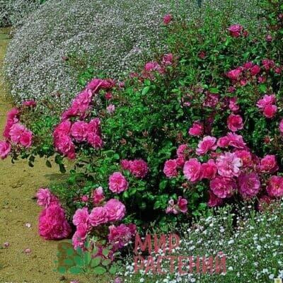 Российские почвопокровные розы