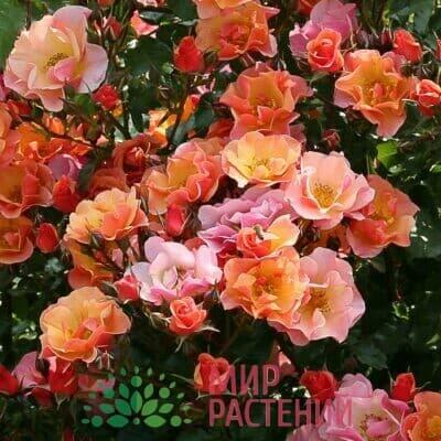 Розы почвопокровные Тантау