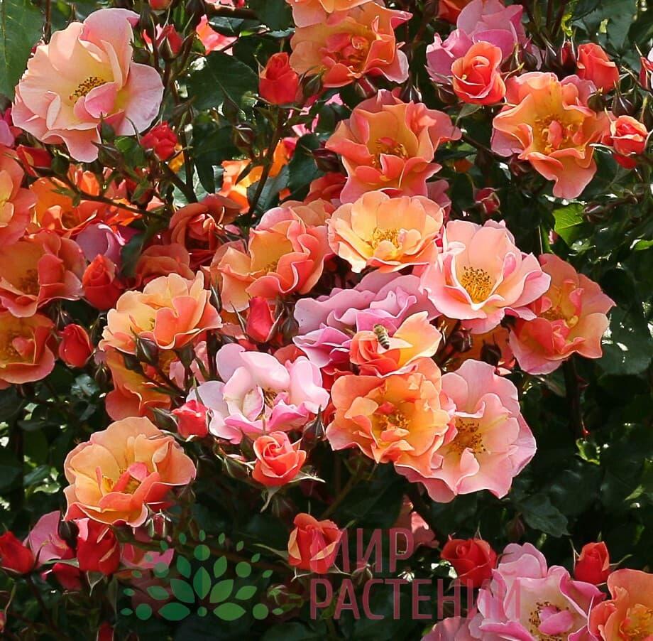 розы почвопокровные сорта фото и описание днем огурцы