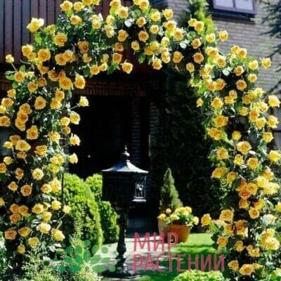 Российские плетистые розы