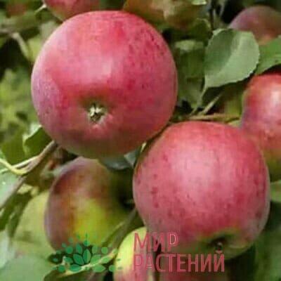 Яблоня Степная красавица