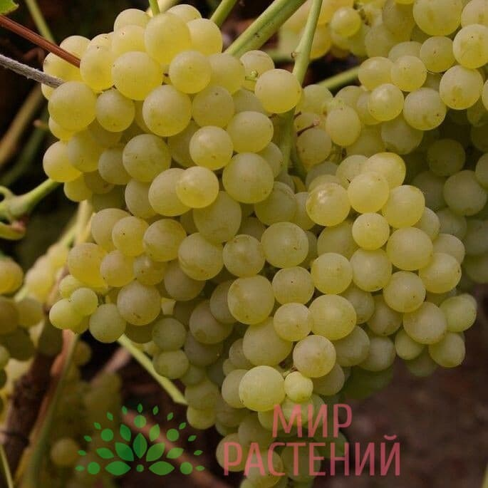 Виноград Кристалл К-768