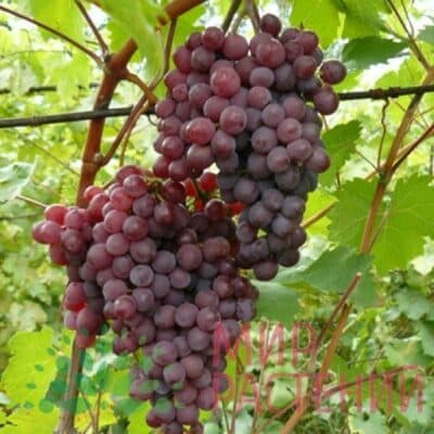 Виноград Амурский розовый