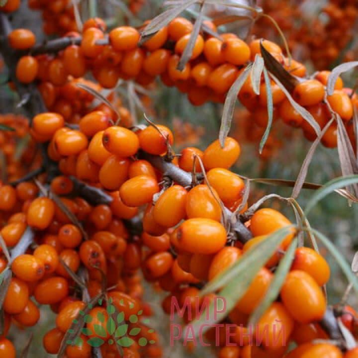 Облепиха Ботаническая любительская
