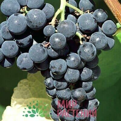 Виноград Вэлиант