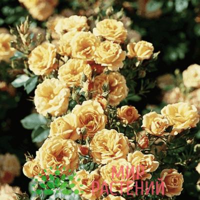 Роза патио Apricot Clementine. Априкот Клементин. Тантау.