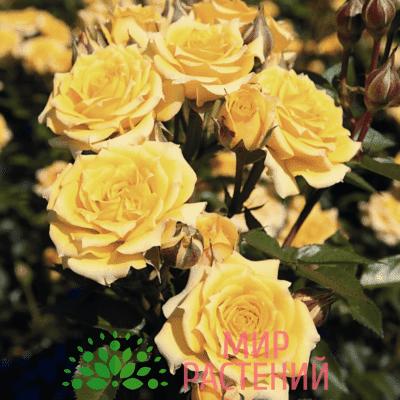 Роза патио Yellow Clementine. Йелоу Клементин. Тантау.