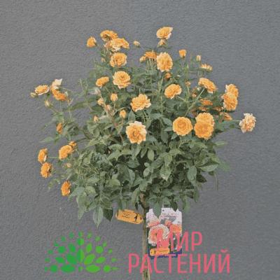 Тантау Клементин Tantau Clementine 1