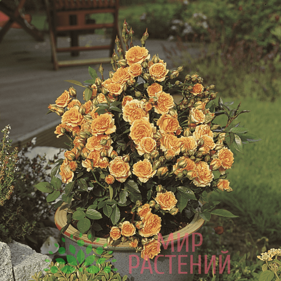 Тантау Клементин Tantau Clementine 2