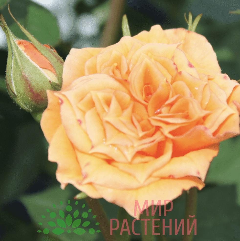 Тантау Клементин Tantau Clementine 3