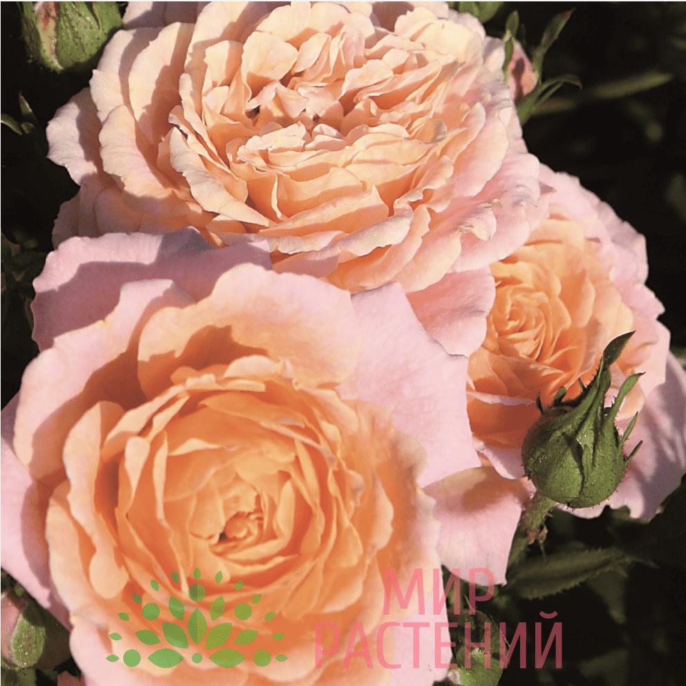 Роза патио Peach Clementine. Пич Клементин. Тантау.