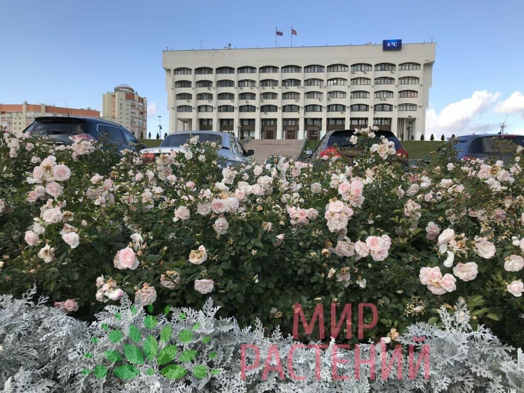Поставка саженцев для Администрации гор Владимир-6