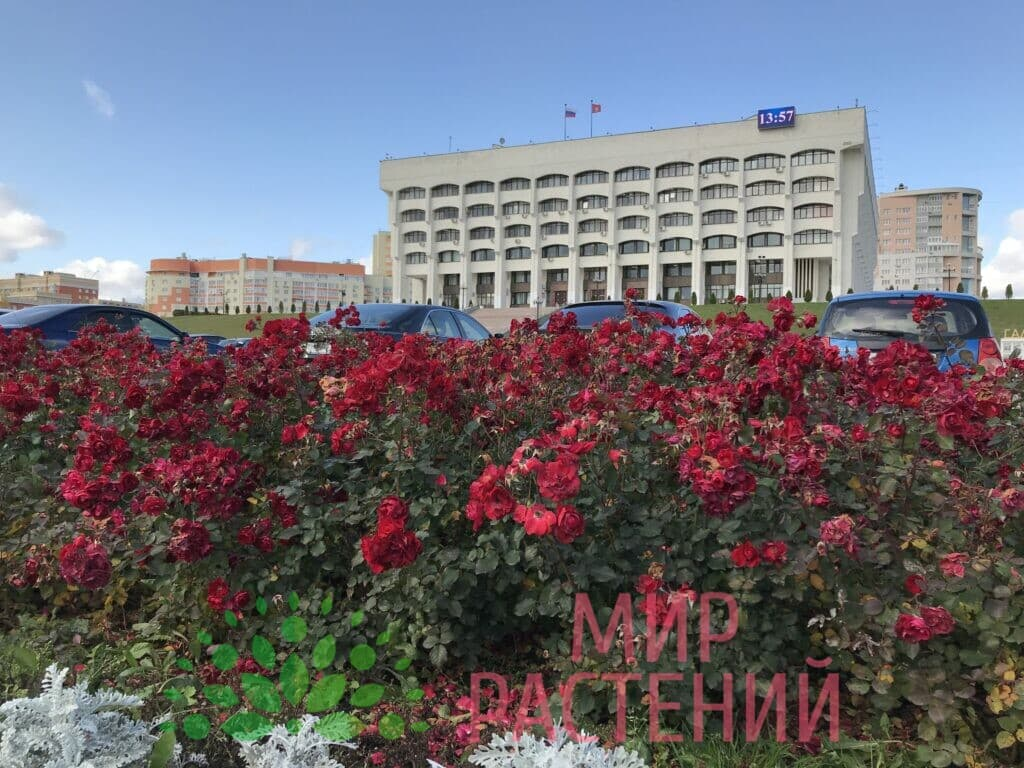 Поставка саженцев для Администрации гор Владимир-1