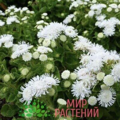 Агератум Алоха Вайт1
