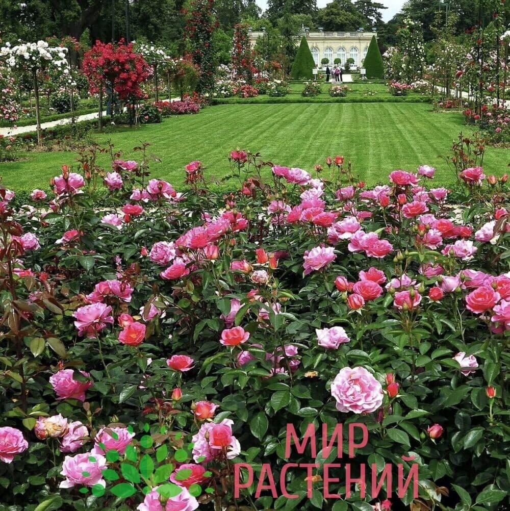 Ковровый розарий Мир Растений Mir-rast.ru