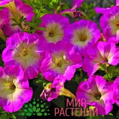 Петуния миллифлора Пикобелла Роуз Морн 1