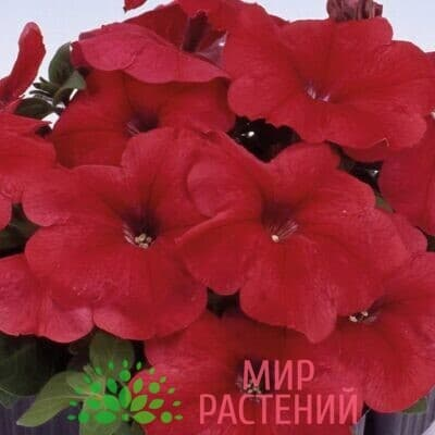 Петуния мультифлора Мамбо Джи Пи Ред 1