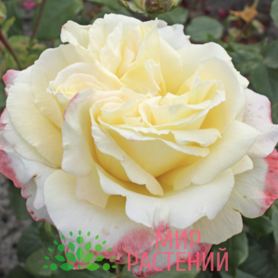 Роза чайно-гибридная Athena. Атена. Кордес.1