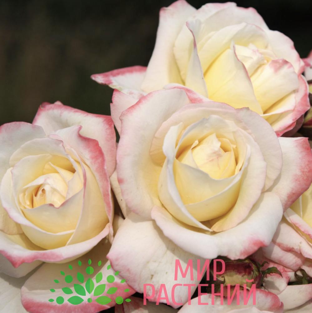Роза чайно-гибридная Athena. Атена. Кордес.2
