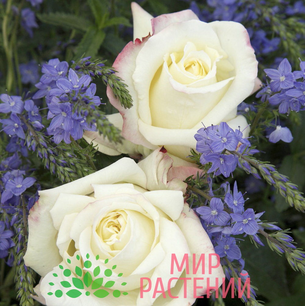 Роза чайно-гибридная Athena. Атена. Кордес.3