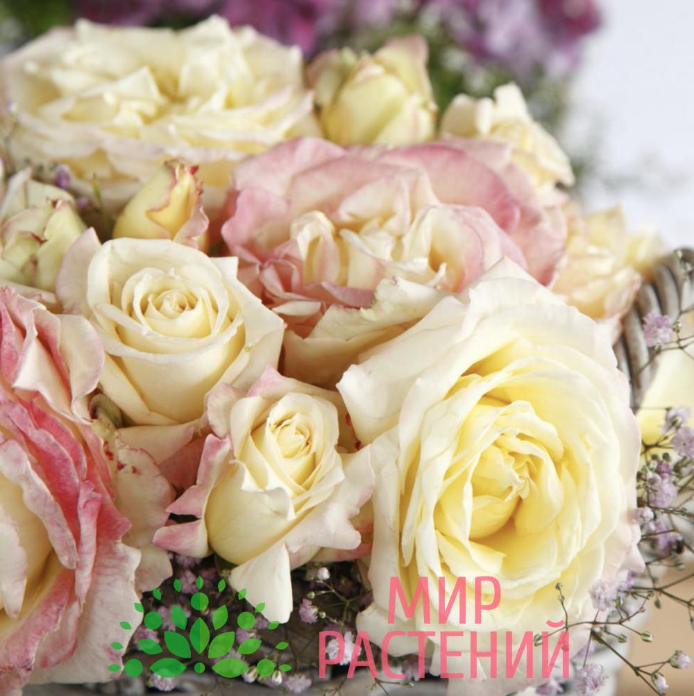 Роза чайно-гибридная Athena. Атена. Кордес.4