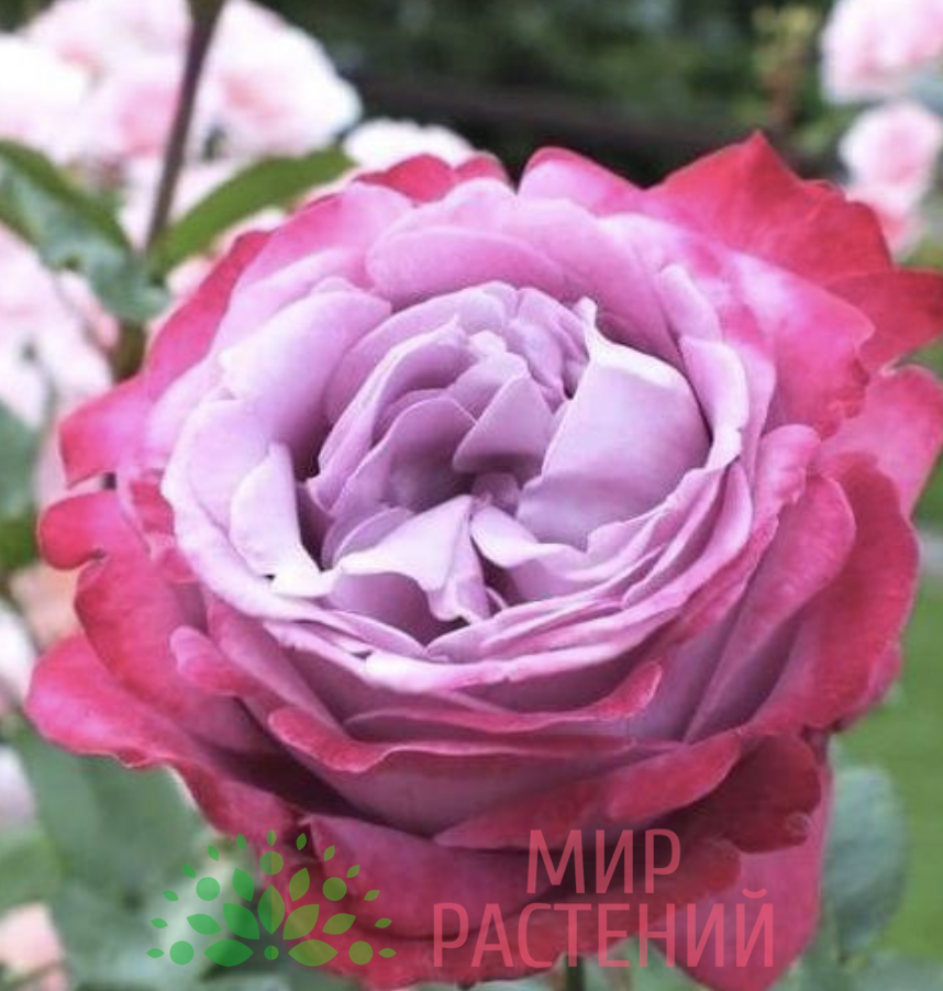 Роза чайно-гибридная Blue River. Блу Ривер. Кордес.