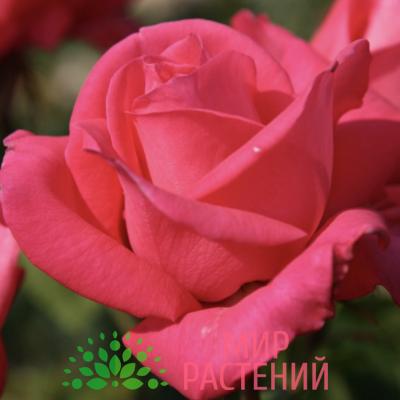 Роза чайно-гибридная Cherry Lady. Чери Леди. Кордес.1