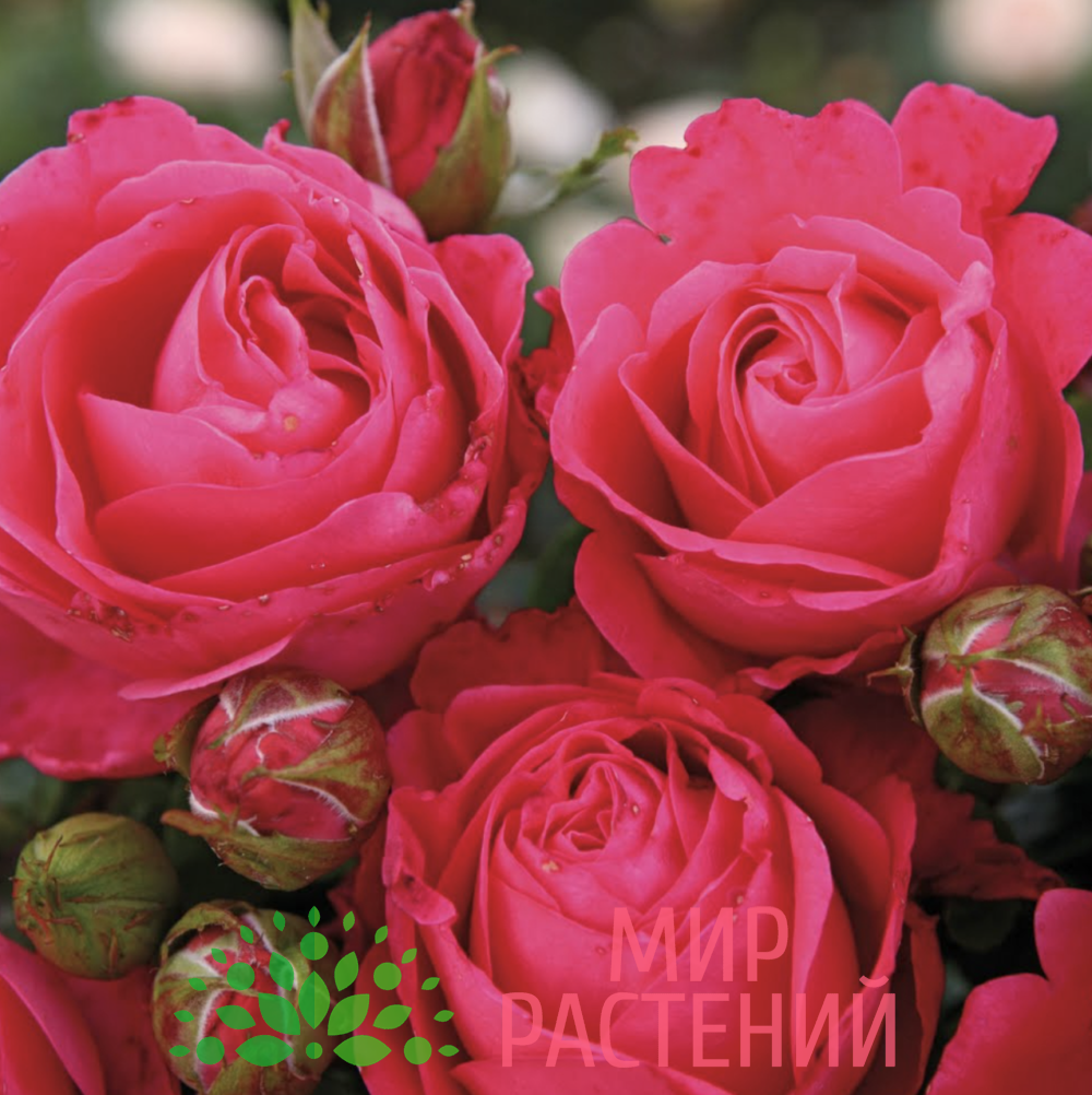 Роза чайно-гибридная Cherry Lady. Чери Леди. Кордес.2