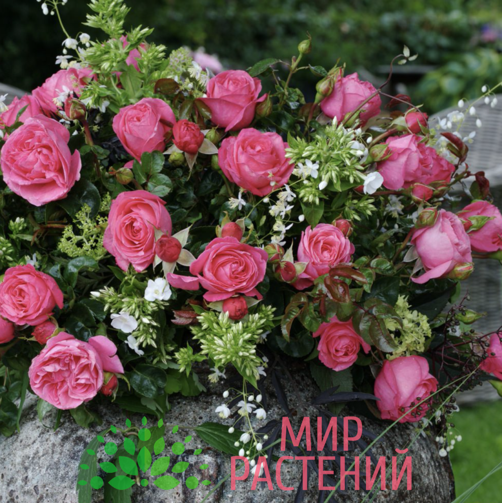 Роза чайно-гибридная Cherry Lady. Чери Леди. Кордес.4
