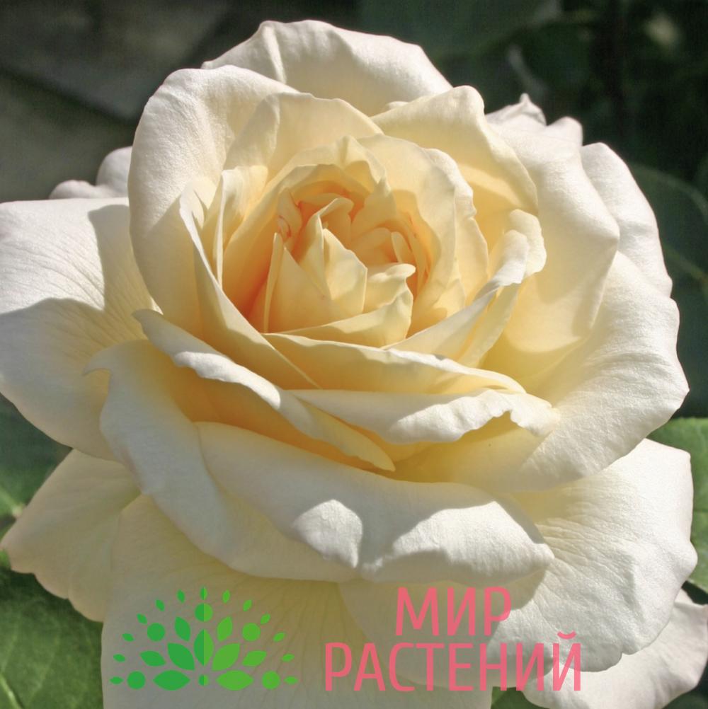 Роза чайно-гибридная La Perla. Ла Перла. Кордес.1