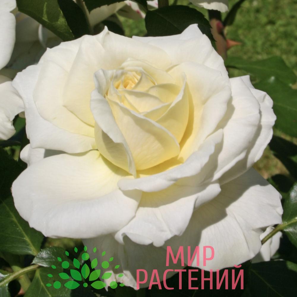 Роза чайно-гибридная La Perla. Ла Перла. Кордес.2