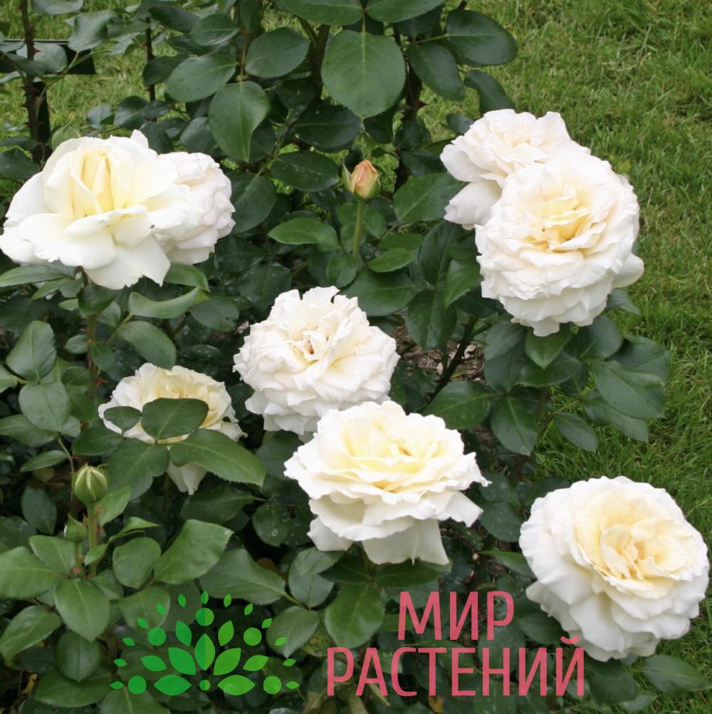 Роза чайно-гибридная La Perla. Ла Перла. Кордес.3