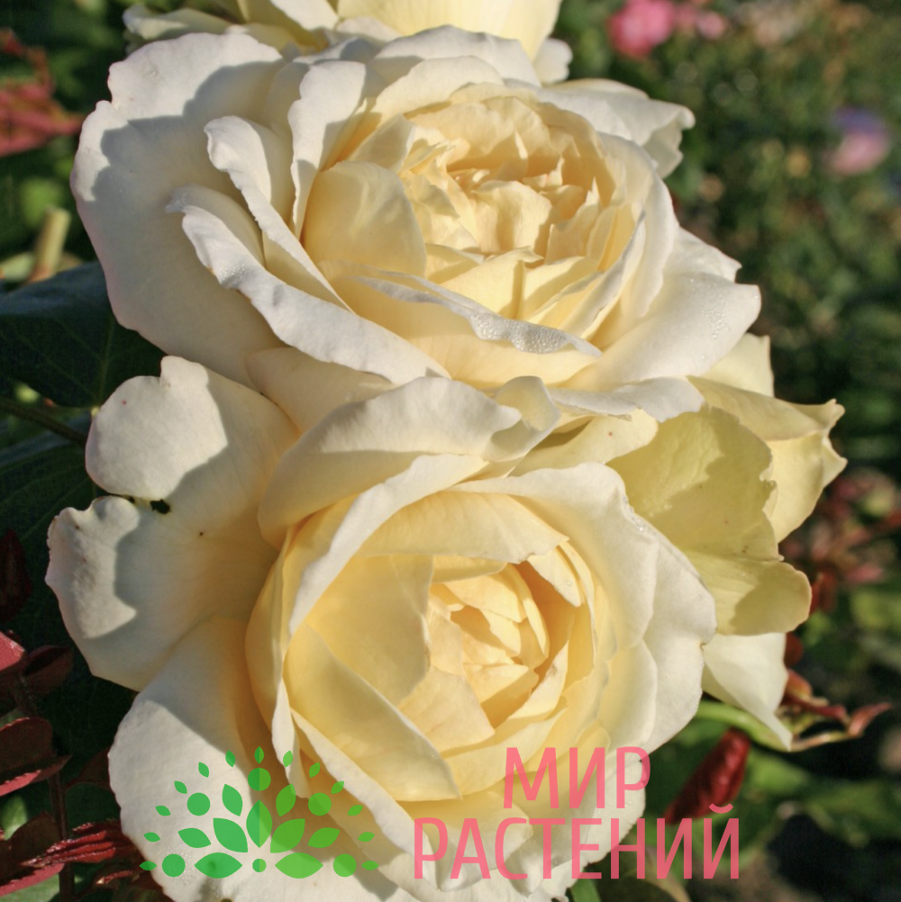 Роза чайно-гибридная La Perla. Ла Перла. Кордес.4