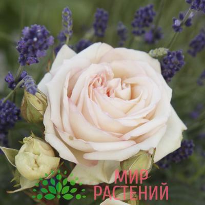Роза чайно-гибридная Madame Anisette. Мадам Анисет. Кордес.1
