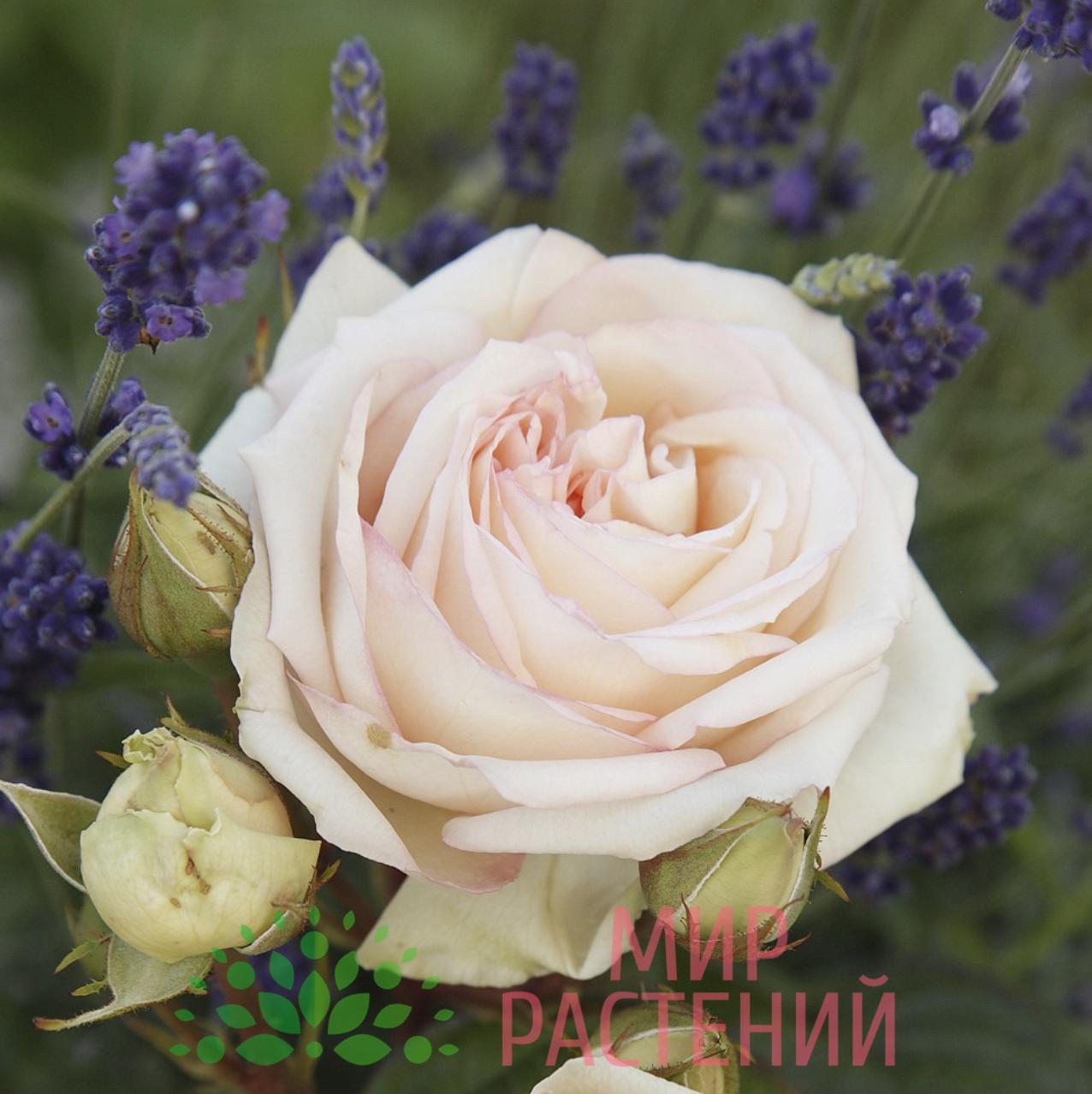 серия парфюма кордес