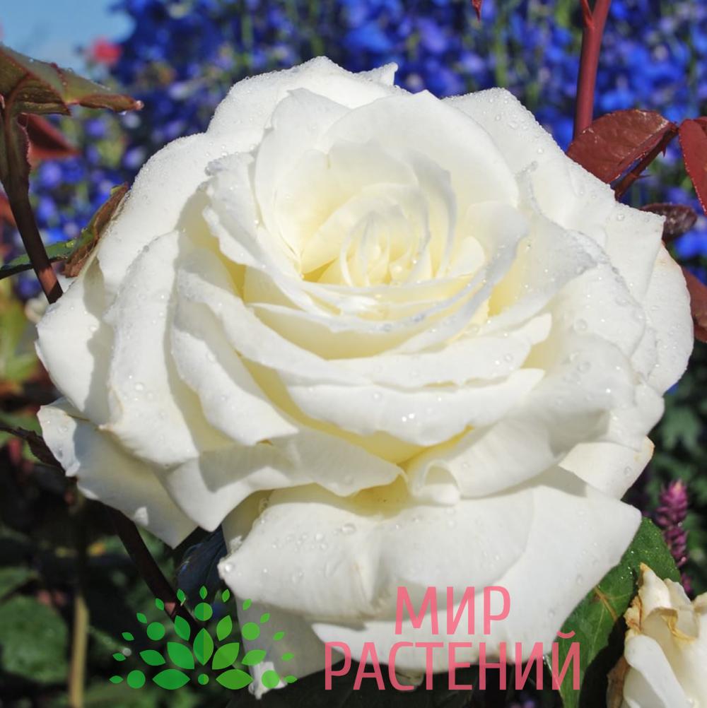 Роза чайно-гибридная Memoire. Мемуар. Кордес.1