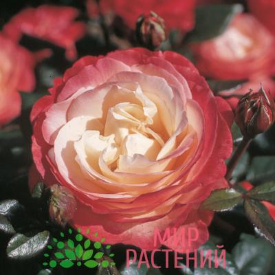Роза чайно-гибридная Nostalgie. Ностальжи. Кордес.1