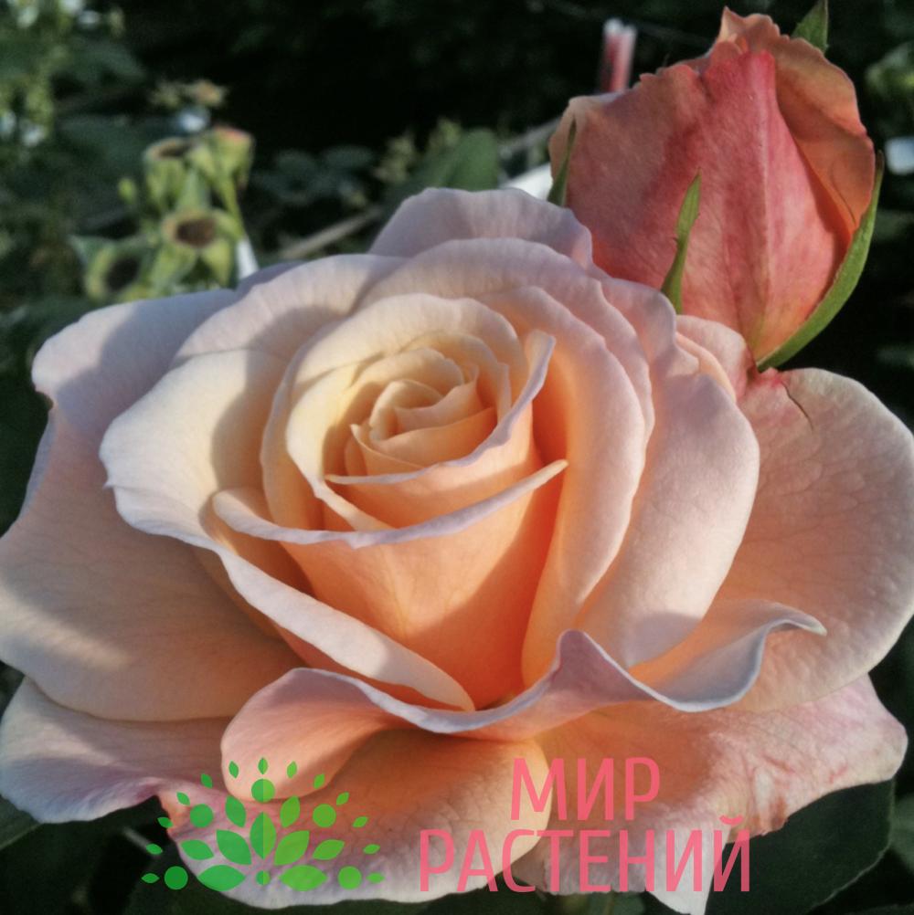 Роза чайно-гибридная Oh Happy Day. О Хэпи Дей. Кордес.1