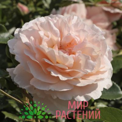 Роза чайно-гибридная Sebastian Kneipp. Себастьян Кнайп. Кордес.2